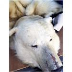 白熊ラグマット