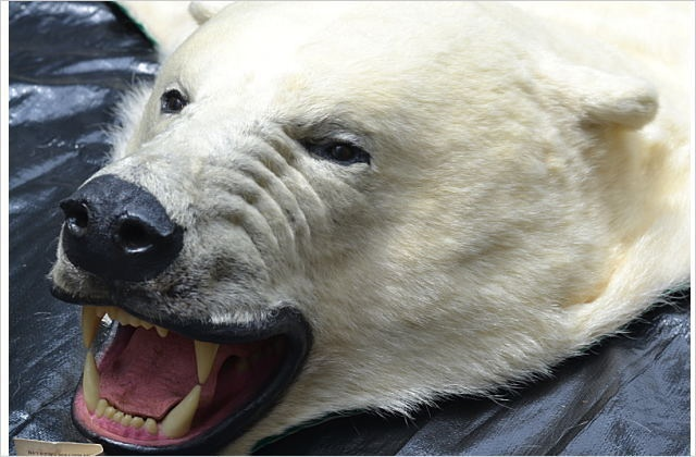 白熊敷皮(良品)