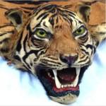 虎の剥製敷皮